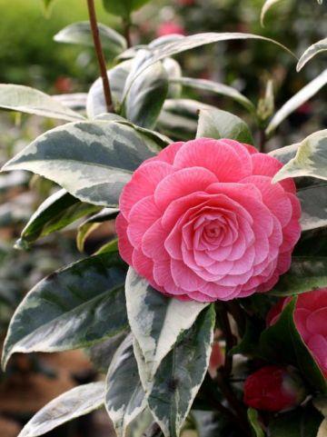 Camellia  'Kerguelen' -