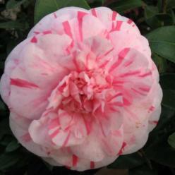Camellia  'Lavinia Maggi' -