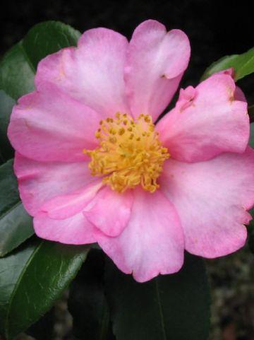 Camellia  'Maiden's Blush' -