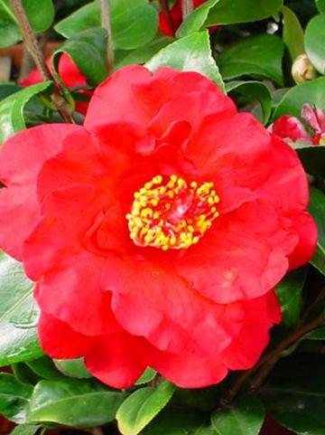 Camellia  'Mrs Charles Cobb' -