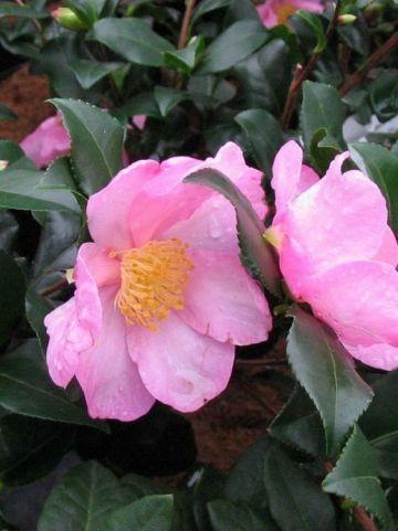 Camellia  'New Dawn' -