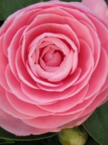 Camellia  'Pearl Maxwell' -