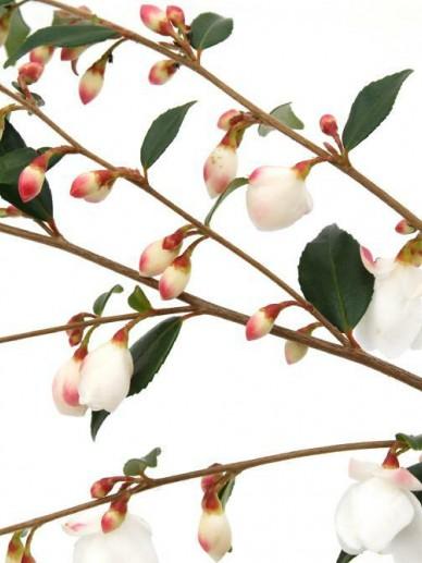 Camellia rosthorniana 'Cupido' (='Elina') -