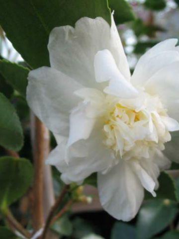 Camellia  'Snow Flurry' -