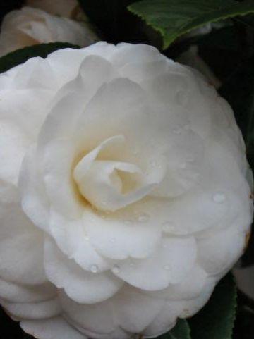 Camellia  'Snow White' -