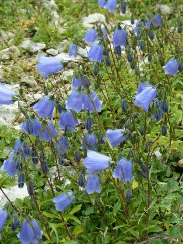 Campanula cochleariifolia  - Klokjesbloem