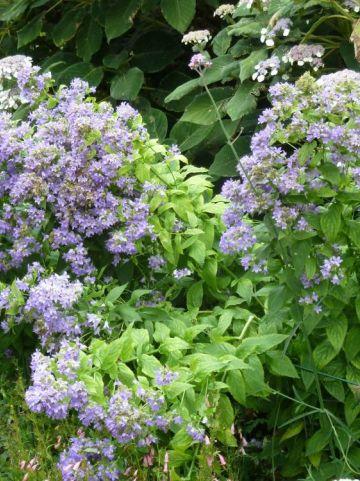 Campanula lactiflora 'Prichard's Variety' - Klokjesbloem