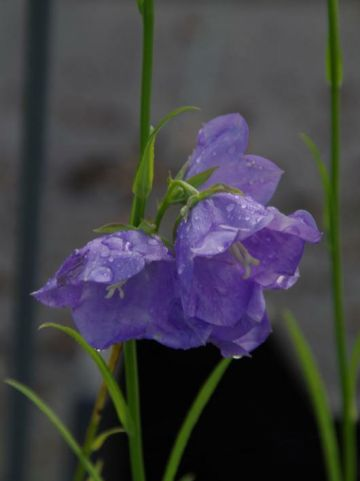 Campanula persicifolia 'Coerulea' - Klokjesbloem , Perzikbladig Klokje