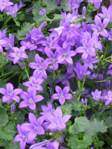 Campanula portenschlagiana 'Addenda Blue Sky' (='Blue Sky') - Klokjesbloem