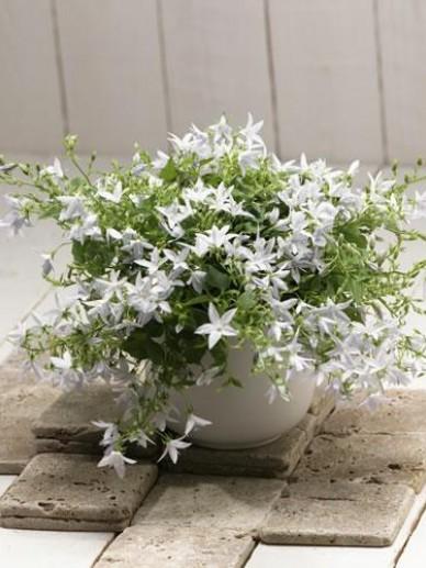 Campanula poscharskyana 'Addenda White Star' (='White Star') - Klokjesbloem