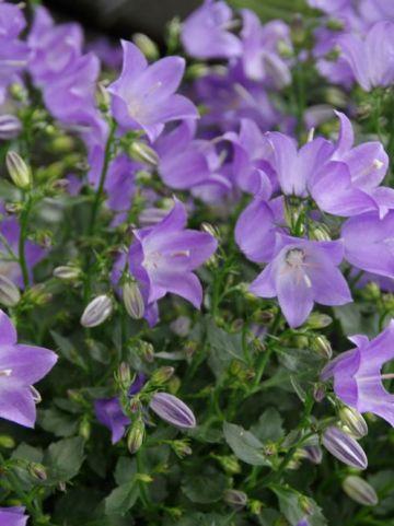 Campanula  'Spring Bell Blue' - Karpatenklokje