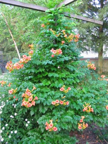 Campsis × tagliabuana 'Indian Summer' - Trompetklimmer