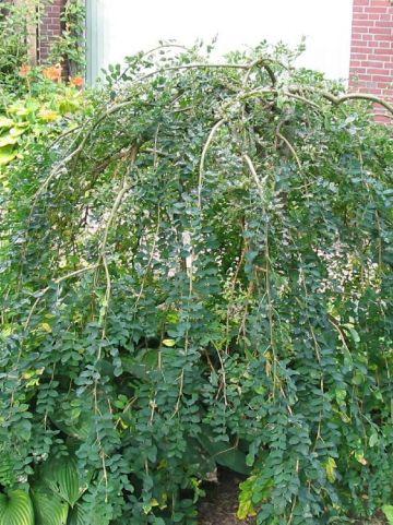 Caragana arborescens 'Pendula' - Erwtenstruik (treurvorm)