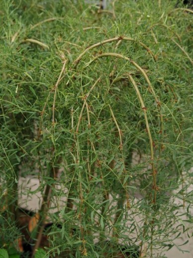 Caragana arborescens 'Walker' - Treur-erwtenstruik , Erwtenstruik