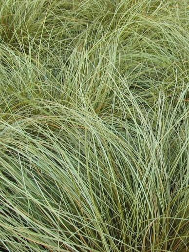 Carex comans 'Bronze Form' - Zegge