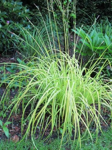 Carex elata 'Aurea' - Stijve zegge