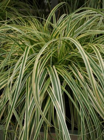 Carex  'Feather Falls' - Bonte zegge