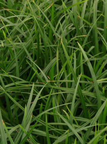 Carex morrowii 'Irish Green' - Zegge