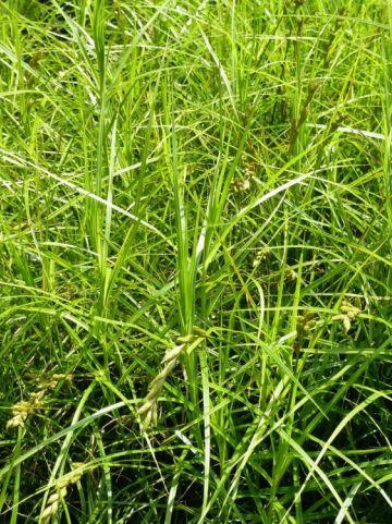 Carex muskingumensis - Zegge, palmzegge,parapluzegge