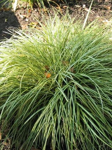 Carex oshimensis 'Evergold' - Bontbladige zegge