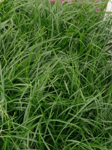 Carex oshimensis 'Evergreen' - Zegge