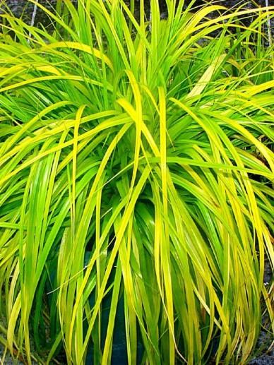 Carex oshimensis 'Everillo' - Bontbladige zegge
