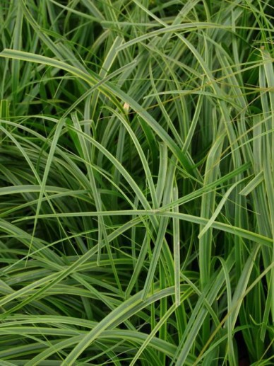 Carex oshimensis 'Everlime' - Bontbladige zegge