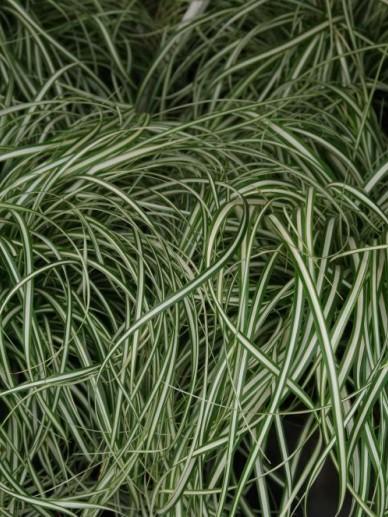 Carex oshimensis 'Everlite' - Bontbladige zegge