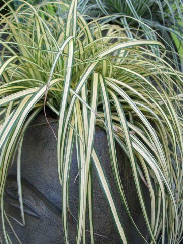 Carex oshimensis 'Eversheen' - Bontbladige zegge