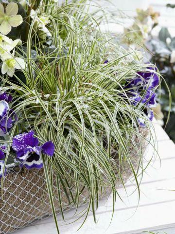 Carex oshimensis 'Evercream' (='FICRE') - Bontbladige zegge