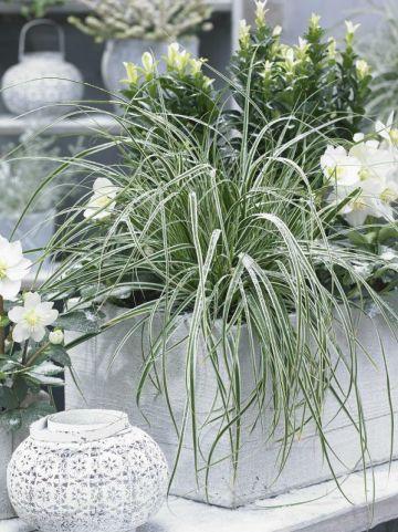 Carex oshimensis 'Everest' (='Fiwhite') - Bontbladige zegge