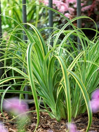 Carex trifida 'Rekohu Sunrise' - Bontbladige zegge