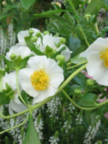 Carpenteria californica  -