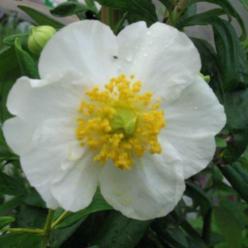 Carpenteria californica  -