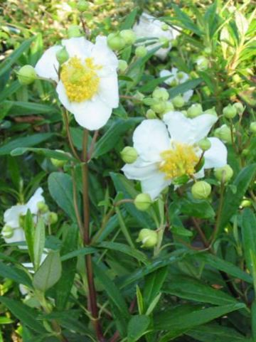 Carpenteria californica 'Elizabeth' -