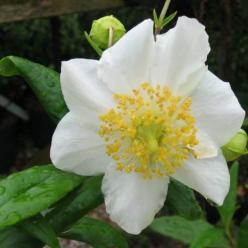 Carpenteria californica 'Elizabeth' -