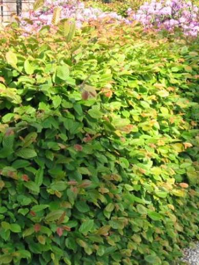 Carpinus betulus - Haagbeuk