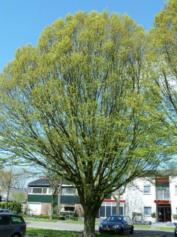 Carpinus betulus 'Fastigiata' - Zuilvormige haagbeuk