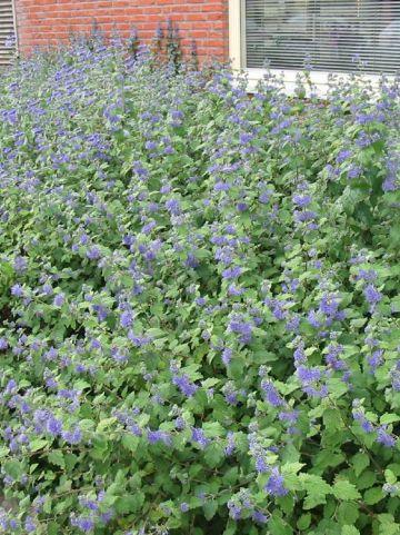 Caryopteris × clandonensis 'Arthur Simmonds' - Blauwbaard