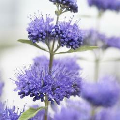 Caryopteris × clandonensis 'Blue Empire' (='ELST33') - Blauwbaard