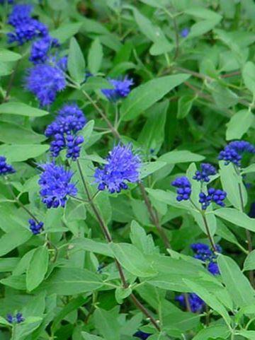 Caryopteris × clandonensis 'Ferndown' - Blauwbaard