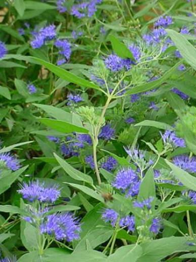 Caryopteris × clandonensis 'Heavenly Blue' - Blauwbaard
