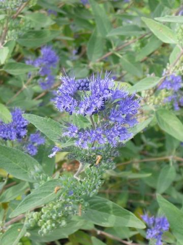 Caryopteris × clandonensis 'Heavenly Blue' - Blauwbaard