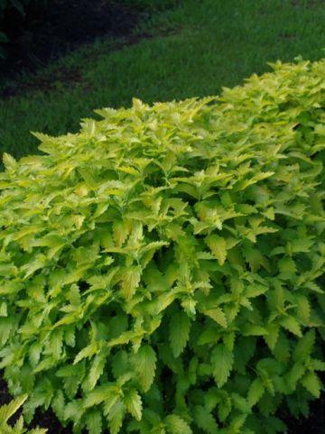 Caryopteris × clandonensis 'Hint Of Gold' (='Lisaura') - Blauwbaard
