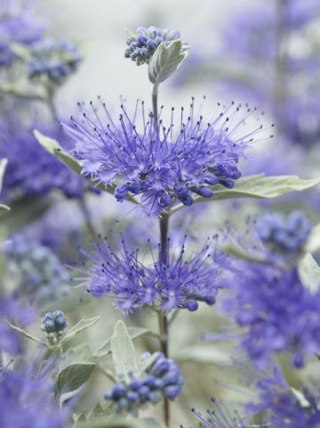 Caryopteris × clandonensis 'Sterling Silver' (='Lissilv') - Blauwbaard