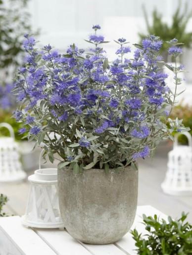 Caryopteris × clandonensis 'Sterling Silver' (='Lissilv') - Blauwbaard