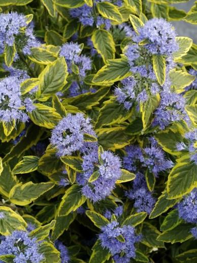 Caryopteris × clandonensis 'Summer Sorbet' - Blauwbaard