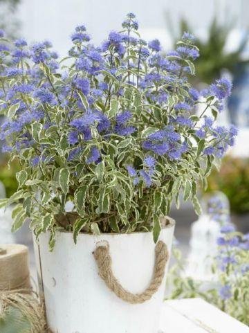 Caryopteris × clandonensis 'White Surprise' - Blauwbaard
