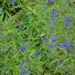 Caryopteris × clandonensis 'Worcester Gold' - Blauwbaard