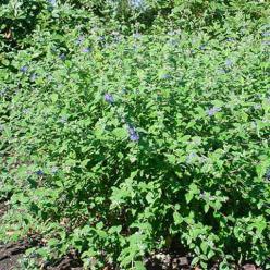 Caryopteris incana  - Blauwbaard